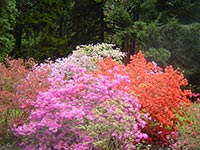 The Biltmore Estate's Azalea Garden