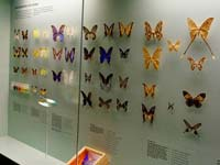 Butterfly display at the Bern Natural History Museum.