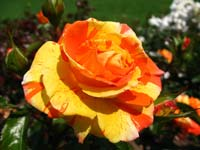 An orange and red rose in Bern's Rosengarten