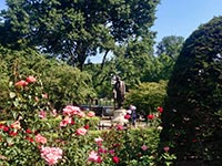 Beautiful roses growing in Boston Common