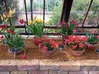 Tulips in the Alpine House