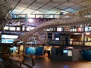 A blue whale skeleton at the Iziko South African Museum