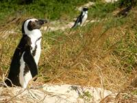 Two African Penguins soaking up the sun at Boulders beach on the Cape Peninsula.