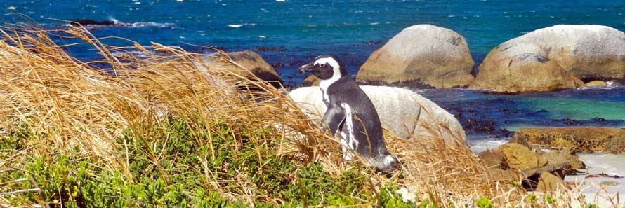Boulders' Penguin Colony, Cape Town