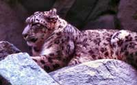 A beautiful snow leopard.  Click to enlarge image.