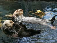 Sea otters at the Oceanarium in Lisbon (© John Leslie, CC-BY-2.0)