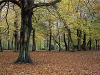 Beech trees in Sefton Park, Liverpool (© Tom Pennington, CC-BY-SA-2.0)