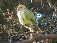 A parakeet in Sefton Park, Liverpool (© Jwas71, CC-BY-SA-4.0)