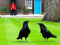 ravens at the Tower of London (© ingo zwank, CC-BY-ASA-3.0)