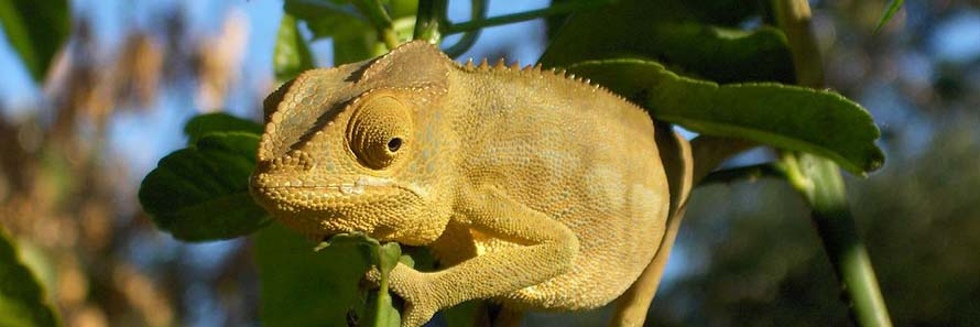 A chameleon at Nosy Be (© LyWashu CC-BY-ASA-3.0)