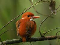 A Pygmy Kingfisher in the Andasibe Mantadia National Park, Madagascar (© Frank Vassen, CC-BY-ASA-3.0)