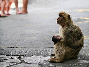 The semi-wild Barbary macaques are an integral feature in Gibraltar's tourism. (© Karyn Sig, CC BY 2.0)