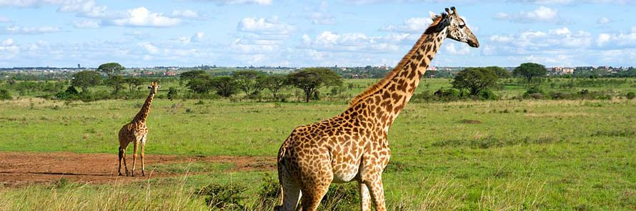 Giraffes in the Nairobi National Park