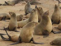 The Cape Cross Seal Reserve (© Hans Hillewaert, CC-BY-ASA-4.0)
