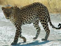 A leopard at the Etosha National Park (© Patrick Giraud, CC-BY-ASA-2.5)