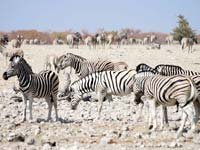 Zebras at the Etosha National Park (© Moongateclimber, CC-BY-ASA-3.0)