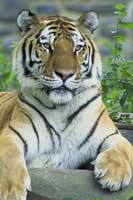 A Siberian Tiger at the Bronx Zoo.  Click to enlarge.