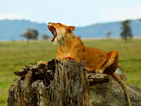 A lioness roaring in the Ngorongoro crater (© SajjadF, CC,BY-3.0