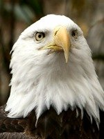 A bald eagle at the National Zoo, one of Washington's best family activities